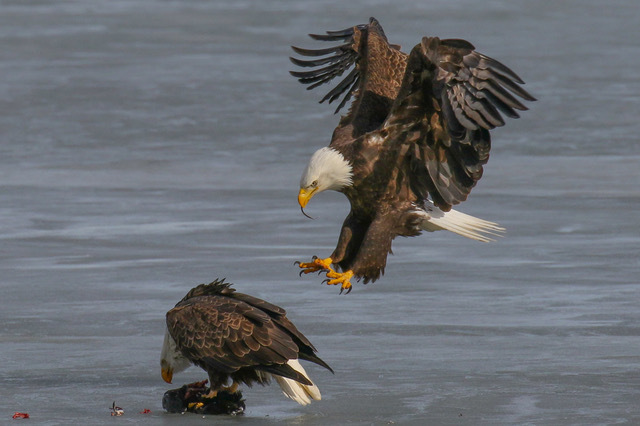 Eagles on Ice by Mark Dolfi